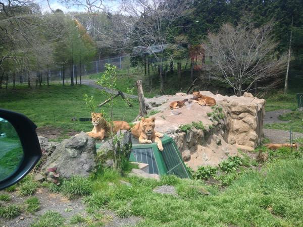 ライオン2匹