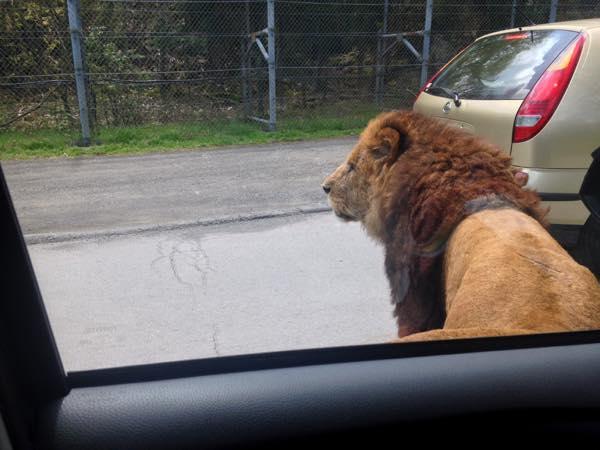 すぐ横に来ていたライオン